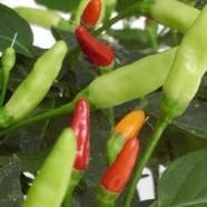 "Chilipeppar ""Tabasco"""