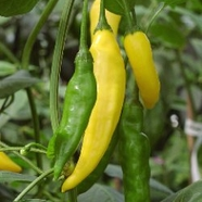 "Chilipeppar ""Hot Lemon"""