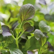 "Micro Leaf, Pak Choi ""Red Wizard"""