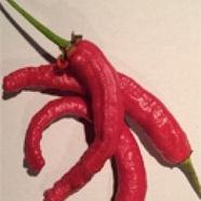 "Chilipeppar ""Elephants Trunk"""