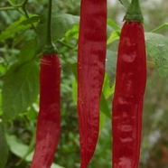"Chilipeppar ""Aji Bolivian Red"""