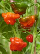 "Chilipeppar ""Minibonnet Red"""