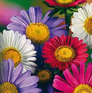 "Aster ""Chinensis Mix"""